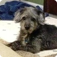 Adopt A Pet :: Merle Haggard - Shawnee Mission, KS