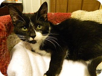 Domestic Shorthair Cat for adoption in The Colony, Texas - Lucky