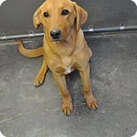 Adopt A Pet :: Nugget meet me 3/7 - Manchester, CT