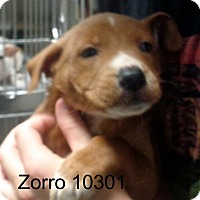 Adopt A Pet :: Zorro - baltimore, MD