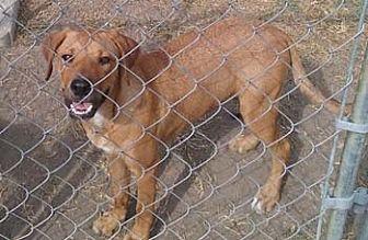 Rhodesian Ridgeback Mix Dog for adoption in Seguin, Texas - Georgia