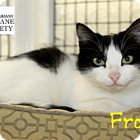Domestic Shorthair Cat for adoption in Covington, Louisiana - Frosty