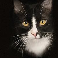 Adopt A Pet :: Capella - Belton, MO