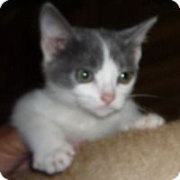 Adopt A Pet :: Miss No Tail - Dallas, TX