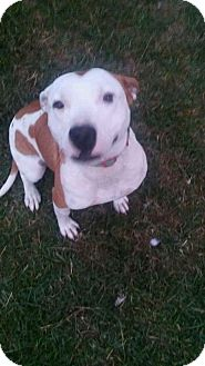 Pit Bull Terrier Mix Dog for adoption in Cypress, Texas - Lexi