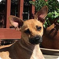 Adopt A Pet :: Capri - Little Rock, AR