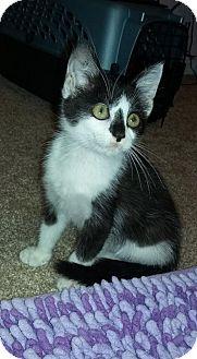 Domestic Shorthair Kitten for adoption in Greensboro, North Carolina - JoJo