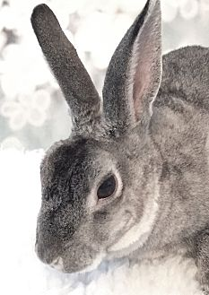 Mini Rex Mix for adoption in Auburn, California - Seymour