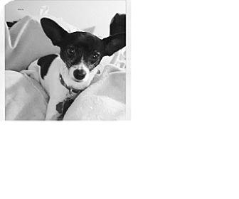 Rat Terrier/Chihuahua Mix Dog for adoption in Missouri City, Texas - Mona Lisa