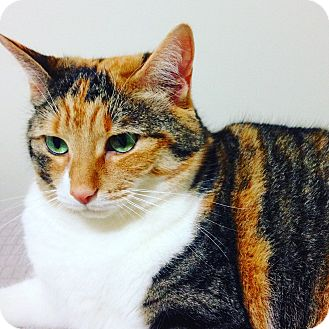 Domestic Shorthair Cat for adoption in Toronto, Ontario - Shilo