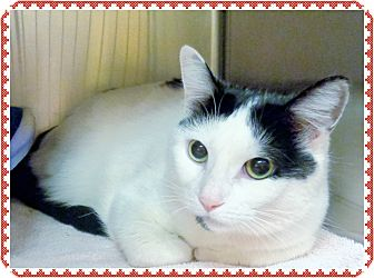 Domestic Shorthair Cat for adoption in Marietta, Georgia - PUSKI