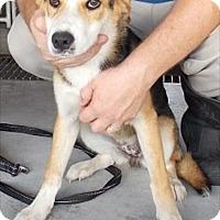 Adopt A Pet :: Lucy Girl - Billerica, MA