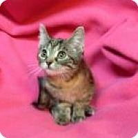 Adopt A Pet :: Cinnamon Spice - Newport, KY