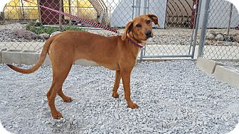 Labrador Retriever/Hound (Unknown Type) Mix Dog for adoption in St John, Indiana - River