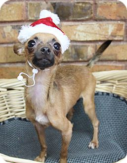 Chihuahua Mix Dog for adoption in Benbrook, Texas - Teacup