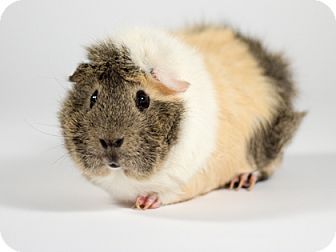 Guinea Pig for adoption in Kingston, Ontario - Squirt