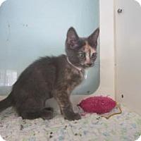 Adopt A Pet :: Mango - Bradenton, FL