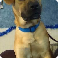 Adopt A Pet :: Boxer - Bartonsville, PA
