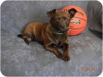 Chihuahua/Schipperke Mix Dog for adoption in West Milford, New Jersey ...