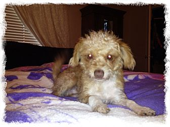 rat terrier poodle mix gus adopted dog gilbert az poodle miniature rat 5431