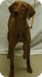 Weimaraner Mix Dog for adoption in Gary, Indiana - Bill