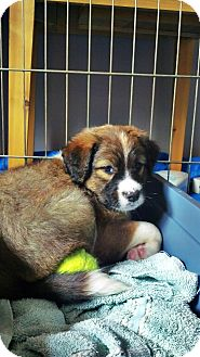 Labrador Retriever/Australian Shepherd Mix Puppy for adoption in Gig Harbor, Washington - Pinto