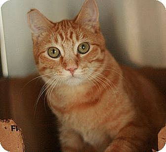 Domestic Shorthair Cat for adoption in Canoga Park, California - Tango