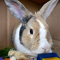 Other/Unknown Mix for adoption in Montclair, California - Thumper
