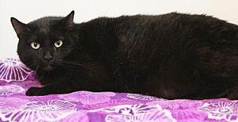 Domestic Shorthair Cat for adoption in Sebastian, Florida - Murphy