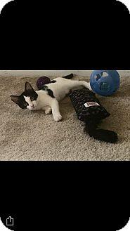 Domestic Shorthair Kitten for adoption in Hampton, Virginia - Daphnee