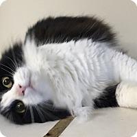 Adopt A Pet :: Victoria - Oakdale, CA