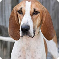 Treeing Walker Coonhound Dog for adoption in Washington, Pennsylvania - Emmy Lou