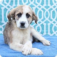 Adopt A Pet :: Huck - Starkville, MS