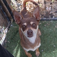 Chihuahua/Jack Russell Terrier Mix Dog for adoption in San Pablo, California - FRANKLIN