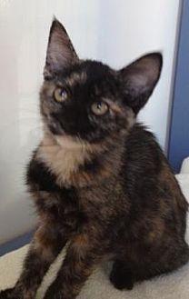 Domestic Shorthair Kitten for adoption in Roseville, California - Choco