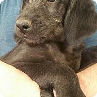 Adopt A Pet :: Scooter - Ogden, UT