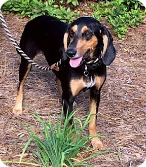 Coonhound Mix Dog for adoption in Atlanta, Georgia - Luna