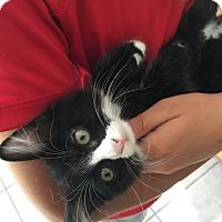 American Shorthair Kitten for adoption in San Jose, California - Tippy-Toes