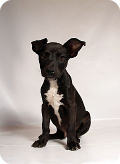 Terrier (Unknown Type, Medium) Mix Puppy for adoption in St. Louis, Missouri - Ranger
