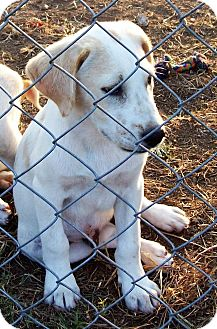 Labrador Retriever/Shepherd (Unknown Type) Mix Puppy for adoption in Waller, Texas - Quinn
