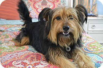 Glen of Imaal Terrier/Yorkie, Yorkshire Terrier Mix Dog for adoption in Southington, Connecticut - Sandi