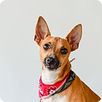 Adopt A Pet :: Roo - Victoria, BC