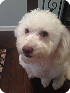 Miniature Poodle Mix Dog for adoption in Carlsbad, California - Thomas