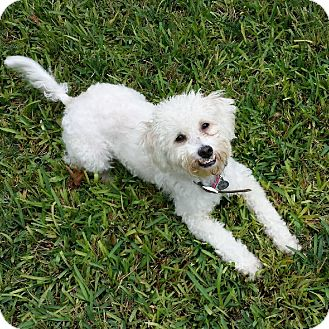 Poodle (Miniature) Mix Dog for adoption in San Antonio, Texas - Sebastian