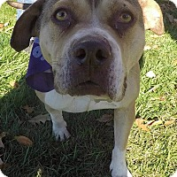 Adopt A Pet :: Dulcinea - Detroit, MI