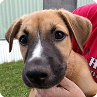 Adopt A Pet :: Buddy Karter - Houston, TX