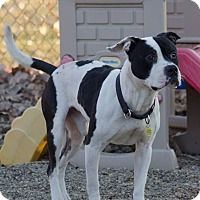 Terrier (Unknown Type, Medium)/Pit Bull Terrier Mix Dog for adoption in Cleveland, Ohio - Drummer