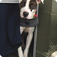 Adopt A Pet :: Hollie - McCormick, SC