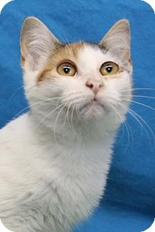 Domestic Shorthair Kitten for adoption in South Bend, Indiana - Hazel