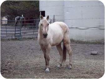Missouri Foxtrotter for adoption in Dewey, Illinois - Honey